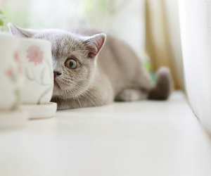 cat, grey, and hide image