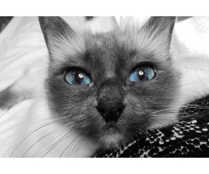 beauty, blue eyes, and cat image