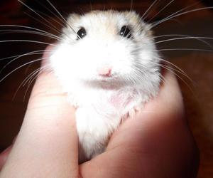 hamster, cute, and photography image