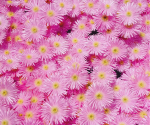 flowers, background, and daisy image