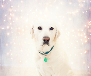 adorable, christmas, and labrador image