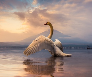 Swan, lake, and nature image