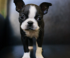 animal, boston terrier, and cute image