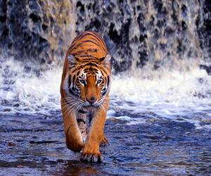 tiger, animals, and wild image