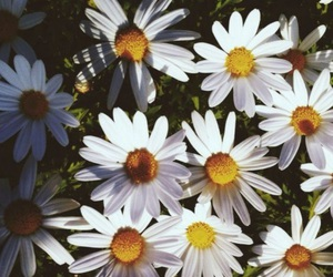 flowers, daisy, and beautiful image