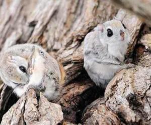 japanese flying squirrels, @biology, and @tumbkr image