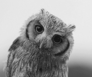 owl, animal, and black and white image