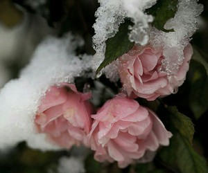 cold, ice, and flower image