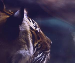 cat, feline, and tiger image