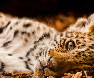 leopard and beautiful image