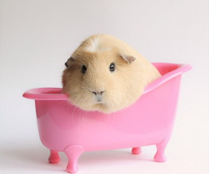 guinea pig, pink, and animal image