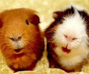 animals, pets, and guinea image