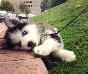 blue, eyes, and puppy image
