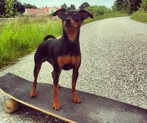 animal, longboard, and miniature pinscher image