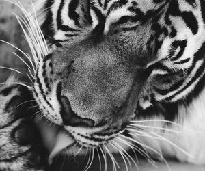 theme, tiger, and animal image
