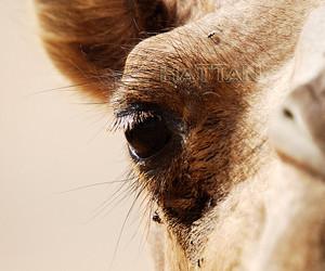 animal, beauty eyes, and camel image