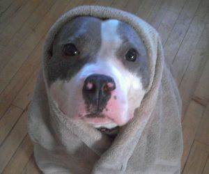 dog, cute, and pitbull image