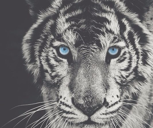 tiger, blue, and animal image