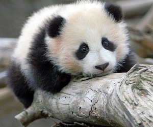 panda cute image