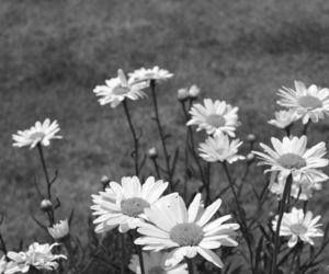 black and white, dasies, and flowers image