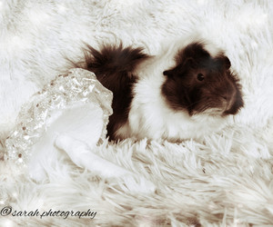 guinea pig, photography, and winter image