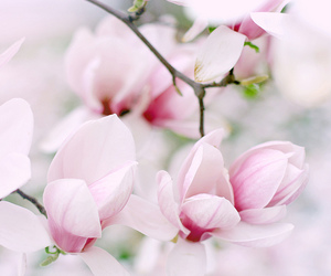 pink, flowers, and magnolia image