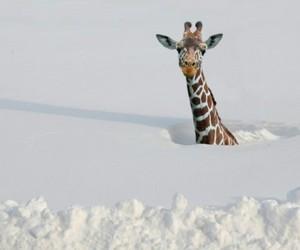 giraffe, snow, and winter image