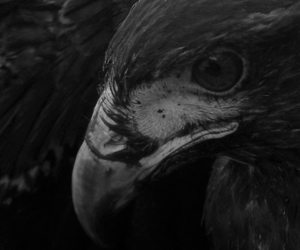 black and white, photography, and eagle image