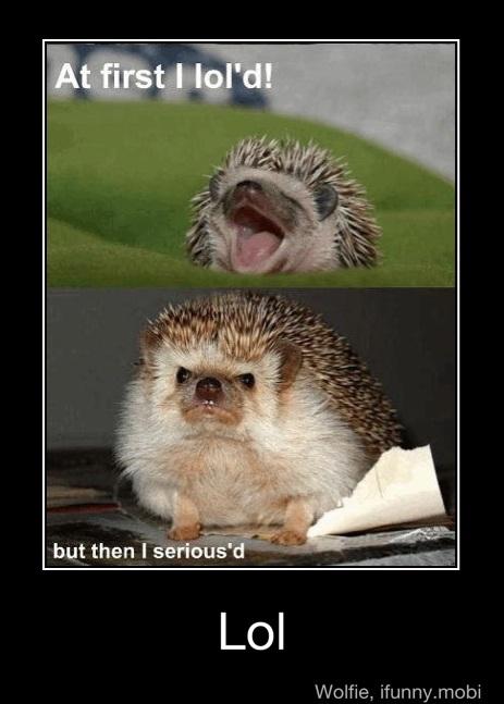 funny, hedgehog, and lol image