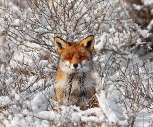 fox and snow image