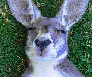 australia, kangaroo, and grass image