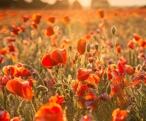 flowers and poppies image