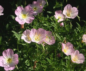 backgrounds, flowers hd wallpapers, and evening primrose flowers image