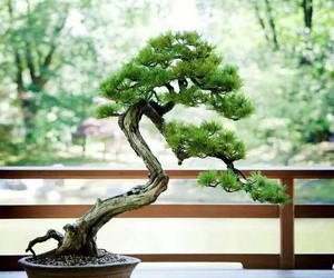 bonsai and japan image