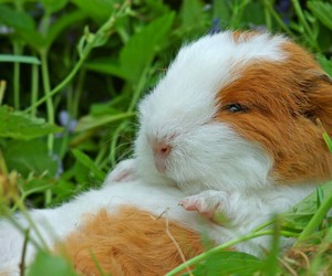 guinea pig, sweet, and animal image