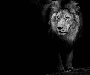 black and white and lion image