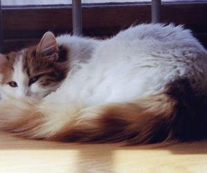 turkish van cat image