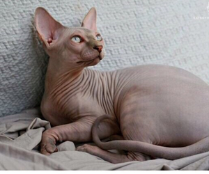 animals, sphynx, and awesome image