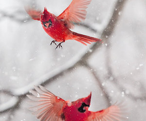 bird, red, and winter image