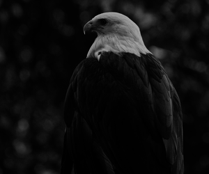 animal, black and white, and eagle image