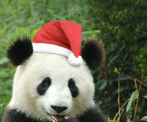 panda and christmas image