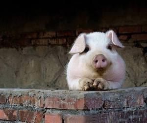 animal, pig, and baby animals image