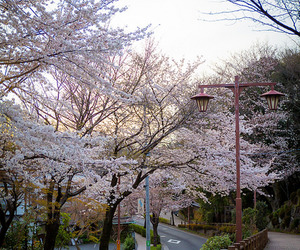 cherry blossom, flowers, and japan image