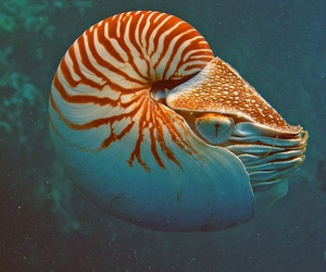 animal, nautilus, and deep sea image