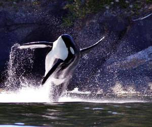beautiful, free, and orca image