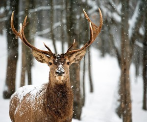 snow, deer, and animal image