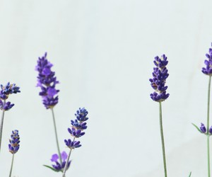 flower, lavender, and nature image