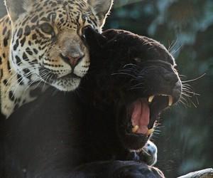 animal, feline, and leopard image