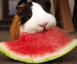 watermelon, animal, and guinea pig image