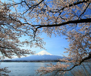 beautiful, cherry tree, and monte fuji image
